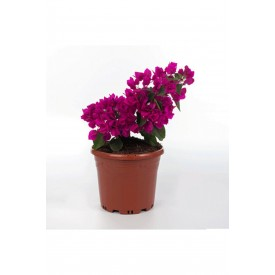 Bodur Begonvil Çiçeği, Saksılı