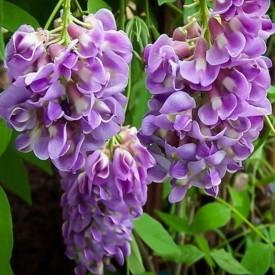 Tüplü/Saksılı Mor Salkım Çiçeği