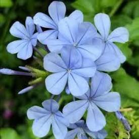 Mavi Yasemin Çiçeği(Plumbago capensis),Saksılı