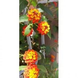 Ağaç Minesi Çiçeği Sarı Turuncu Çicekli, Tüplü/Saksılı